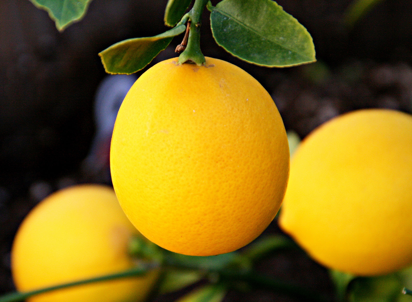 What's in Season this Winter: Meyer Lemons